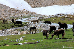 Yak like things at Ishparo Dhok (Syed Sarmad Bukhari) Tags: road trip pakistan yak mountains college nature hiking wildlife north medical rua barren khyber sarmad chitral kalaash bhamborate