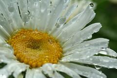 Wet Daisy (qorp38) Tags: macro daisy raindrops