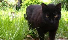 Madre protectora. Mum, the protector (carlosolmedillas) Tags: black animal cat negro gato gata mirada negra mascota madre felina