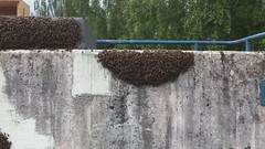 Cast swarm (bluetack) Tags: bees beekeeping urbanbeekeeping swarms rowleyway londonbeekeeping