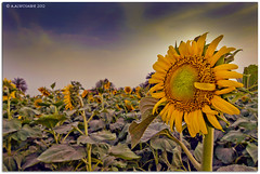 Sunflower farm    (A.Alwosaibie) Tags: sunflower farm aalwosaibie 2012 photo shot light spot ksa alhasaa        nikon d90 1635mm iso100