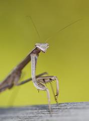 Alien (J Gilbert) Tags: mantis newjersey praying chinese nwr greatswamp tenoderaaridifolia