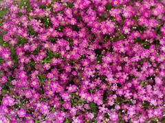 Tiny Flowers (Peter Nijenhuis) Tags: flowers carpet small nederland thenetherlands violet groningen delicate hoogezand ef100mmf28macrousm 60d peternijenhuis