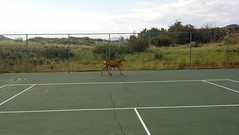 Deer on the tennis courts Photo