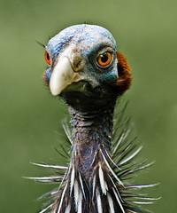 Wilhelma-23-1.jpg (Setekh81) Tags: zoo tiere stuttgart natur vogel willhelma flickrchallengegroup flickrchallengewinner perlhung