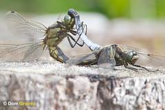 Black-tailed Skimmer Acrobatics (Dom Greves) Tags: uk summer lake male female dragonfly wildlife july surrey mating wetland invertebrate sexualreproduction blacktailedskimmer orthetrumcancellatum ockhamcommon