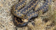 Adder (Vipera berus) (Nick Dobbs) Tags: reptile snake heath dorset strike viper defensive venomous coiled heathland venom vipera berus