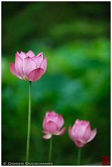 A little lotus family in Hokongo-in temple gardens , Kyoto. (Damien Douxchamps) Tags: west japan temple kyoto lotus  western   kansai japon  ukyo  kinki   ukyou   hokongoin houkongouin