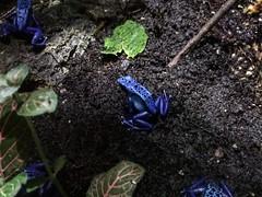 Dendrobates Tinctorius (silviadirocco) Tags: frog blue vancouver canada aquarium