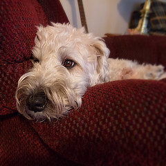 Resting (Eric.Ray) Tags: canon digital square 365 dog animal pet maggiemae