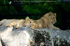 Aziatische leeuw - Panthera leo persica - Asiatic lion (MrTDiddy) Tags: aziatische leeuw panthera leo persica asiatic lion cub welp zoogdier mammal bigcat big cat grotekat grote kat feline dierenparkplanckendael dierenpark planckendael mechelen muizen