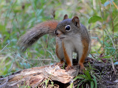 Red Squirrel (gmspanek) Tags: red squirrel