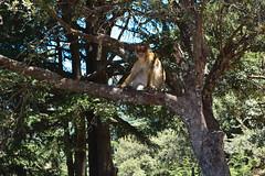Un macaque berbre, ou singe magot, prend la pose (Ath Salem) Tags: algrie tiziouzou djurdjura montagne assi youcef youssef tala guilef         singe magot boghni