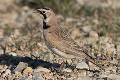 Horned Lark (male) (Jeremy Meyer) Tags: hornedlark horned lark bird nature