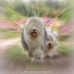 "Megan and Ashley "" explore "" (dewollewei) Tags: oldenglishsheepdog oldenglishsheepdogs oldenglishsheepsdog sheepdog old english dogs oes wickedwisdoms dog focus canon7dmark2 running runningdogs heide hond oldenglisgsheepdog"