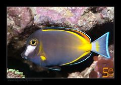 ALAIN1japonicus6594 (kactusficus) Tags: marine reef aquarium alain captive ecosystem rcifal acanthuridae chirurgien surgeonfish tang acanthurus japonicus