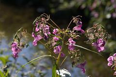 ckuchem-7976 (christine_kuchem) Tags: bach blte springkraut ufer wildpflanze drsiges gewsser nichtheimisch rosa
