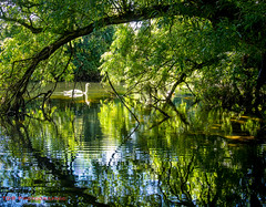 Beside the Stour (TDR Photographic) Tags: dorset england riverstour thedorsetrambler uk contrejour idyllic landscape light overhanging possibles reflections summer swan trees