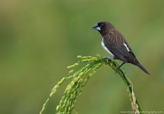 White rumped munia (THASLEEM MK) Tags: munia birds india kerala life