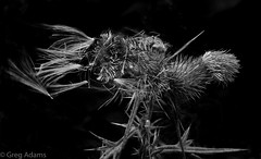 Thistles (Greg Adams Photography) Tags: catskills newyork thistle plant thorns sharp onblack blackandwhite colorblind hhsc2000 summer 2016 nature pods wind