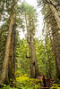 ancient forest  (56 of 151) (ve7org) Tags: ancientforest ancientcedars cedartrees parks trail