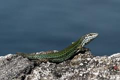 tomando el sol (puzzlero) Tags: lagarto llangardaix puzzlero lagartija reptil