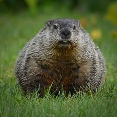 Groundhog (jtbksc) Tags: woodchuck groundhog