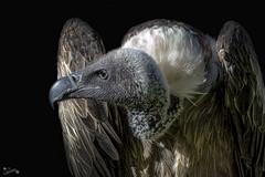 Buitre (alfrelopez) Tags: buitre animal ave carroñero alfredo alfrelopez nikond3200 sigma18200