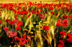 Dreaming poppies fields (savolio70) Tags: papaveri poppies poppy field campo savolio stefanoavolio dreams sogni sognare sognando dream dreaming spring primavera