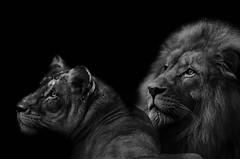 La lionne et son roi (Scholt's) Tags: beauval zoo parc animalier noir blanc black white monochrome lion lionne flin france loiretcher big cat pet nikon d7000