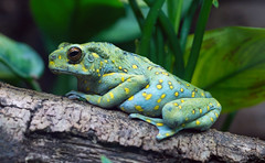 Frog (sjmok4) Tags: nature animals frog blue