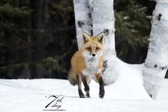 Out for a run! (Seventh day photography.ca) Tags: redfox fox animal mammal predator wildanimal wildlife spring snow ontario canada forest