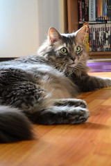 Lounging in the Dining Room (Vegan Butterfly) Tags: jack animal cat feline cute adorable fur furry adopted family
