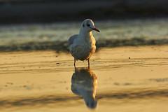 Vogel Dars Ahresnhoop 01 (Basel101) Tags: vogel darss prerow natur naturschutz strand ahrenshoop ostsee meer deutchland sonnen sonnenaufgang