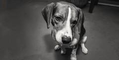 pudding bear (f2 photografia) Tags: janewayraziel janewayf2 photografia diego dog beagle blackandwhite razieljaneway sony sonya6000