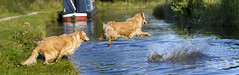 Top Bombing (johnroberts2) Tags: dog water goldenretriever jumping action sequence goldenretreiver