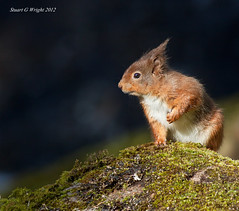 Red Squirrel UK (Stuart G Wright Photography) Tags: uk red squirrel wildlife wwwstuartgwrightcom