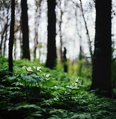 lend me your eyes, i can change what you see (manyfires) Tags: flowers film nature oregon forest mediumformat square landscape trillium lyrics spring woods bokeh hasselblad wilsonville pacificnorthwest trilliums hasselblad500cm musicmonday mumfordsons awakemysoul