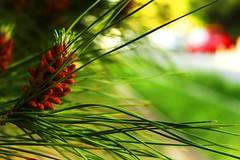 pine tree (Katrinitsa) Tags: pine tree nature landscape greece bokeh needles colors green brown forest light awesome spring beautiful shadows