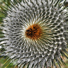 Cotton Thistle in the Vineyard (Habub3) Tags: park travel holiday plant flower detail macro green art texture nature canon germany garden hair deutschland vineyard reisen flora europa europe stuttgart thistle urlaub natur pflanze blumen powershot cotton blume makro rosette hdr vacanze 2012 weinberg distel haare g12 onopordum acanthium eselsdistel krebsdistel wolldistel krampfdistel habub3 mygearandme