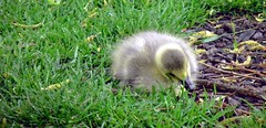 raindrop gosling (ghostsecurity28) Tags: baby green nature grass yellow spring waterbird canadian gosling canadiangoose twigs