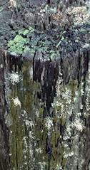 Old post (Tony Markham) Tags: lichen crustose foliose fruticose fruticoselichen crustoselichens folioselichens maddensplains dharawalnationalpark