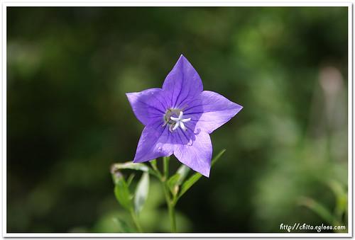 도라지 꽃