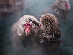 Primal love (c_c_clason) Tags: leica japan digilux2 onsen monkeys nagano shigakogen jigokudani digilux snowmonkey japanesemacaques