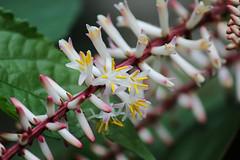 Dracena flowers