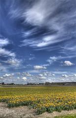 Yellow Flowers and Skywriting (Jan Kranendonk) Tags: flowers holland field yellow lucht bloemen bollenveld bollenstreek bloei hillegom bloemenveld