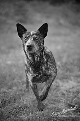 Intensity (Gary Randall) Tags: dog betty australiancattledog acd blueheeler dsc93542