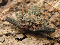 CIMG8658 (mantidboy) Tags: pet forest spider rainforest arachnid tail scorpion exotic bark scorpions whip cave charon hiding predator cf invertebrate dwelling insectivore tailless amblypygid tailess amblypygi grayii phillipenes grayi