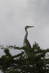 Heron (jnyaroundtheworld) Tags: africa animals tanzania wildlife lion ngorongoro crater zebra giraffe massai serengeti animaux girafe afrique faune zbre tanzanie greatmigration wetseason manyaralake ndutu felins masa lacmanyara saisondespluies grandemigration