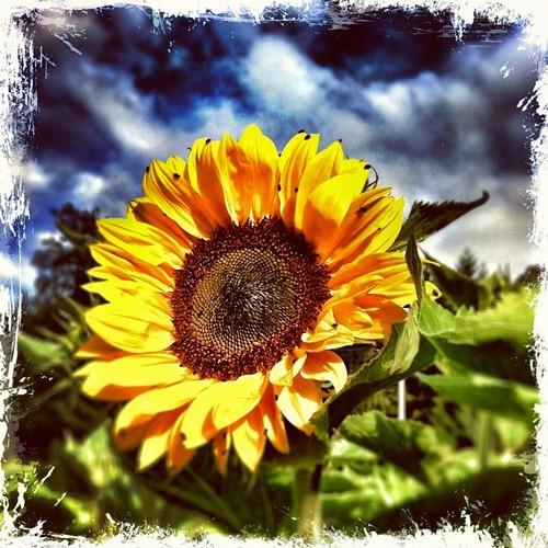 Welcome to the sunflower season!